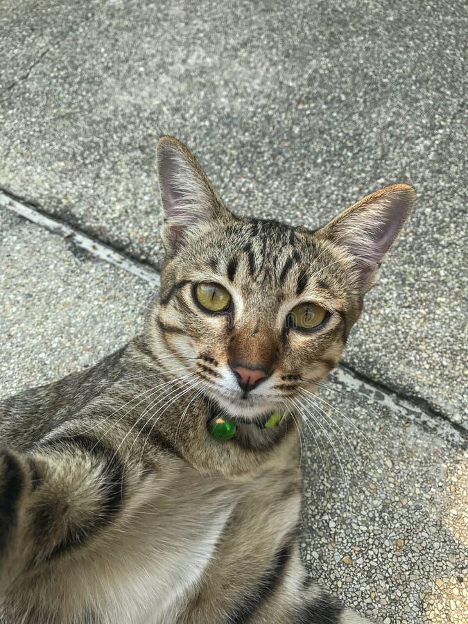 Gatto di Tabby Thai che prende i selfies immagini stock