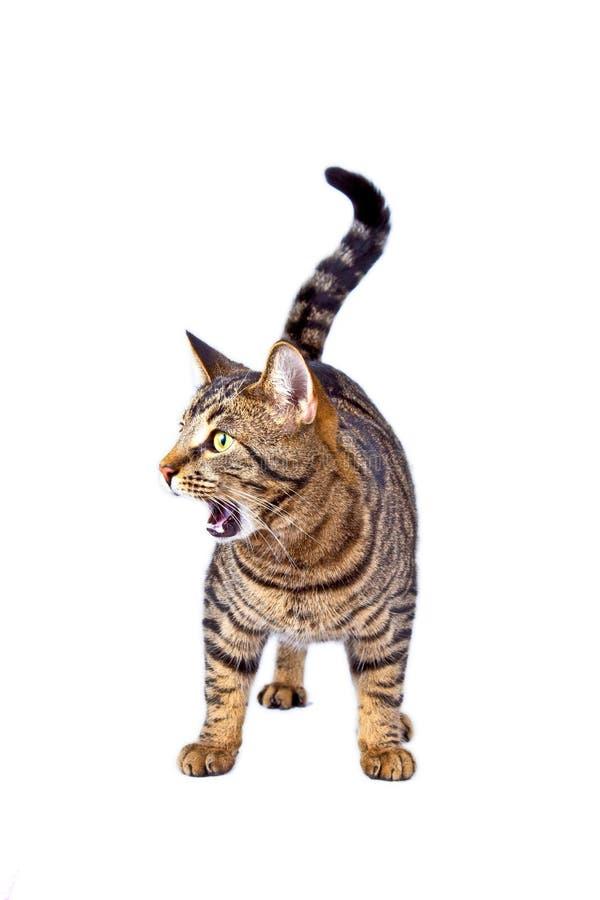 Gatto di tigre nella posizione dell'allarme fotografia stock libera da diritti