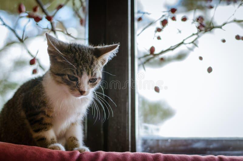 Gatto dietro appostarsi della finestra immagini stock