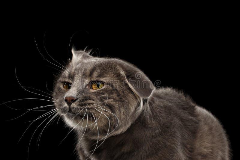 Gatto divertente della testa di scossa del fronte del ritratto del primo piano, fondo nero immagini stock