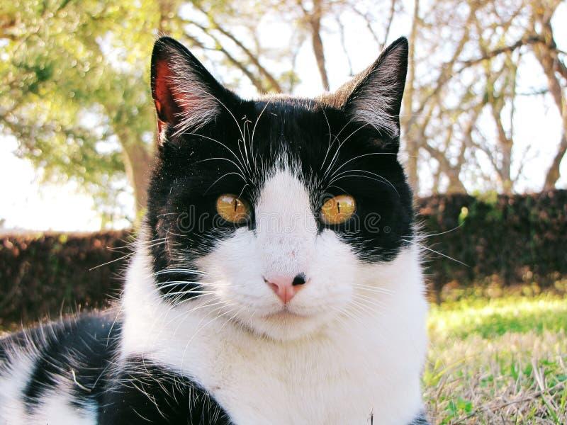 Gatto domestico in bianco e nero di Shorthair fotografia stock libera da diritti