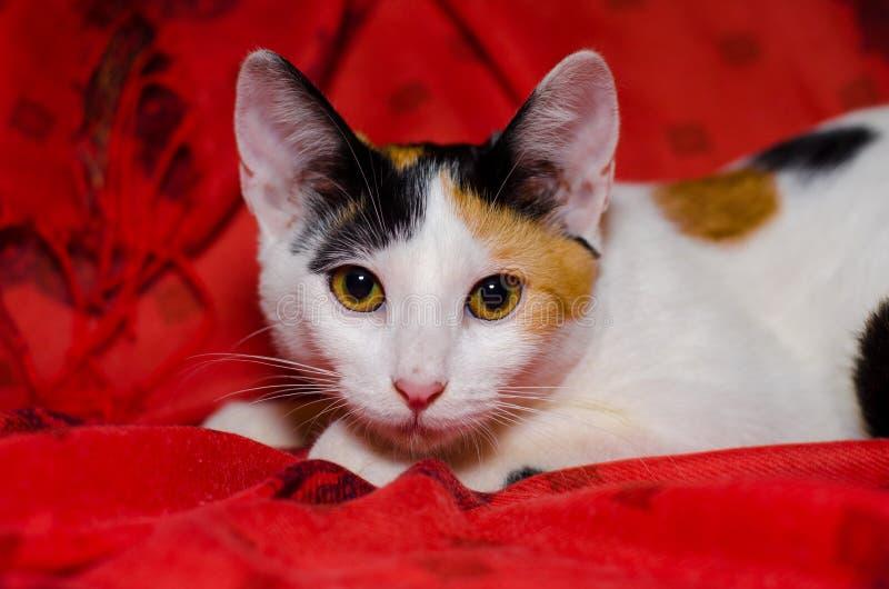 Gatto domestico di tricromia fotografia stock