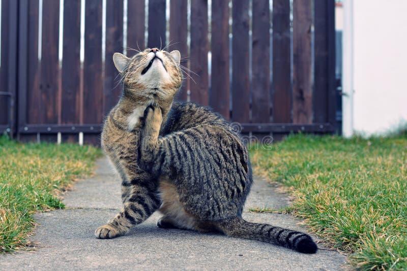 Gatto domestico divertente fotografia stock libera da diritti