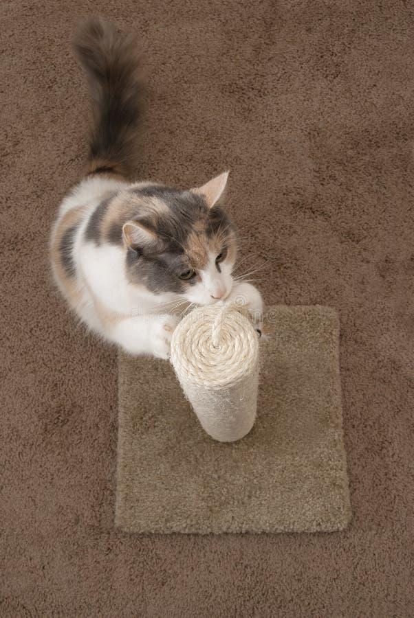 Gatto domestico facendo uso della posta di scratch immagine stock