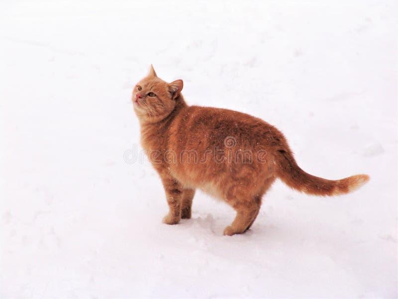 Gatto domestico nella neve immagini stock libere da diritti