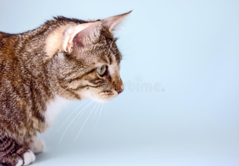 Gatto domestico a strisce, vista laterale fotografia stock libera da diritti