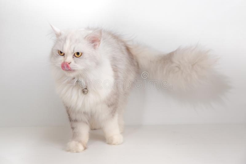 Gatto domestico su fondo bianco fotografie stock