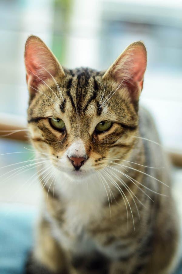 Gatto, Dragon Li, basette, fauna immagini stock libere da diritti