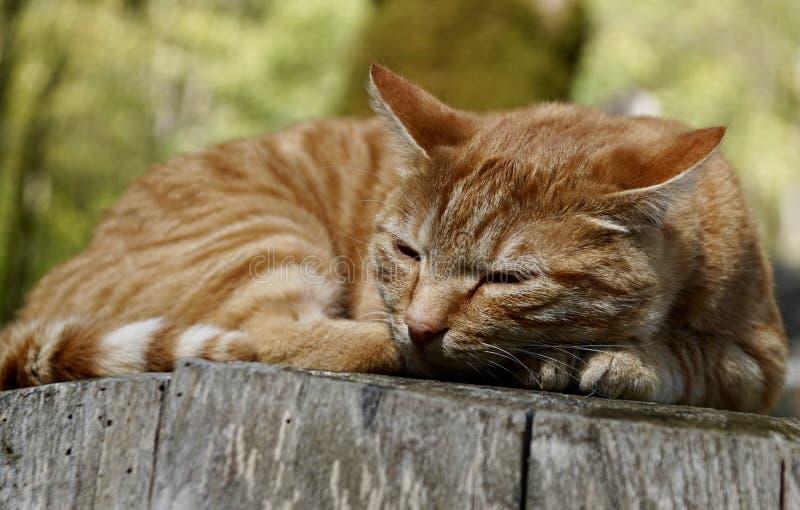 Gatto, Dragon Li, fauna, basette fotografie stock