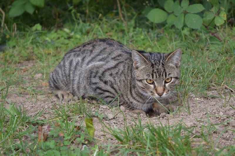 Gatto, Dragon Li, fauna, gatto selvaggio fotografia stock