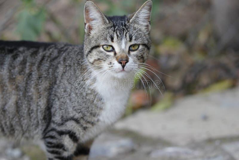 Gatto, Dragon Li, fauna, mammifero immagini stock libere da diritti