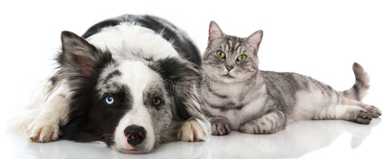 Gatto e cane che si trovano sul fondo bianco immagine stock