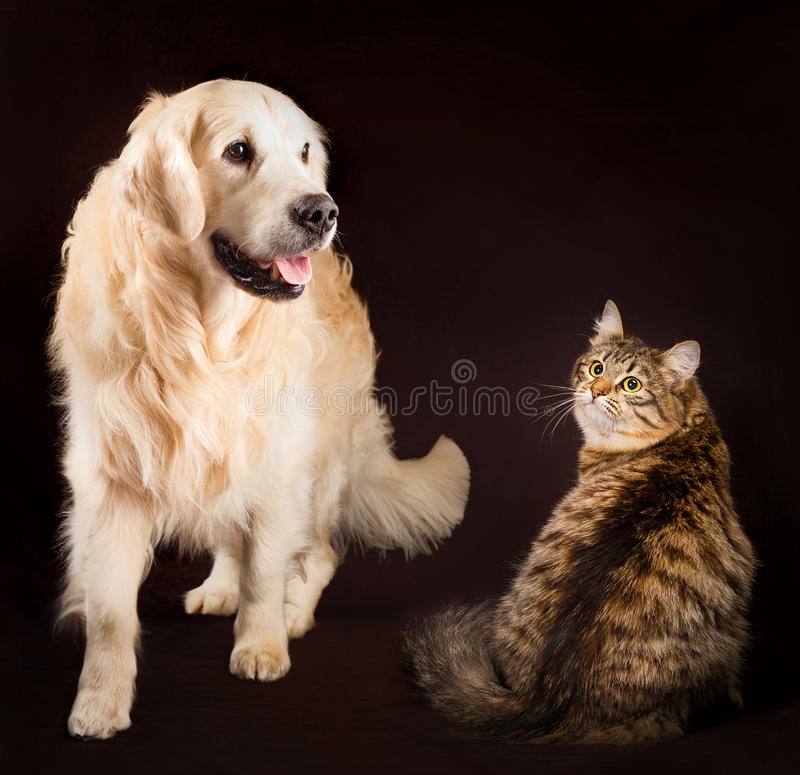 Gatto e cane insieme, gattino siberiano, dorato immagini stock libere da diritti