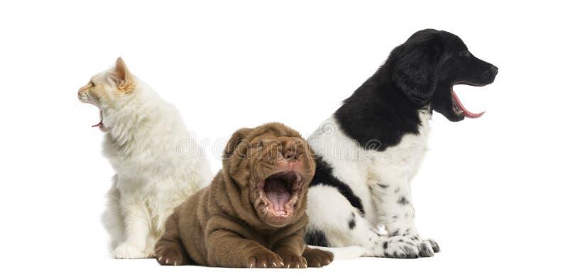Gatto e cani che sbadigliano immagine stock
