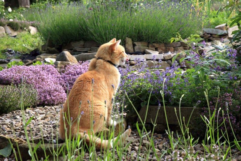 Gatto e catmints dello zenzero immagine stock