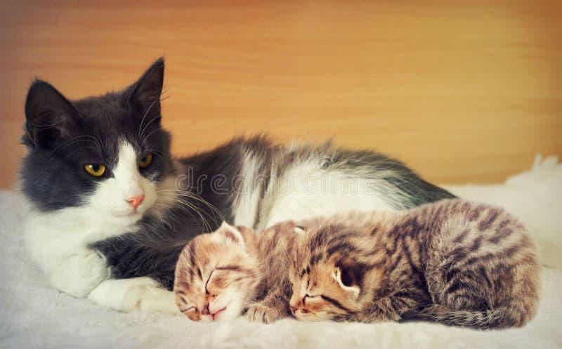 Gatto e gattini fotografia stock