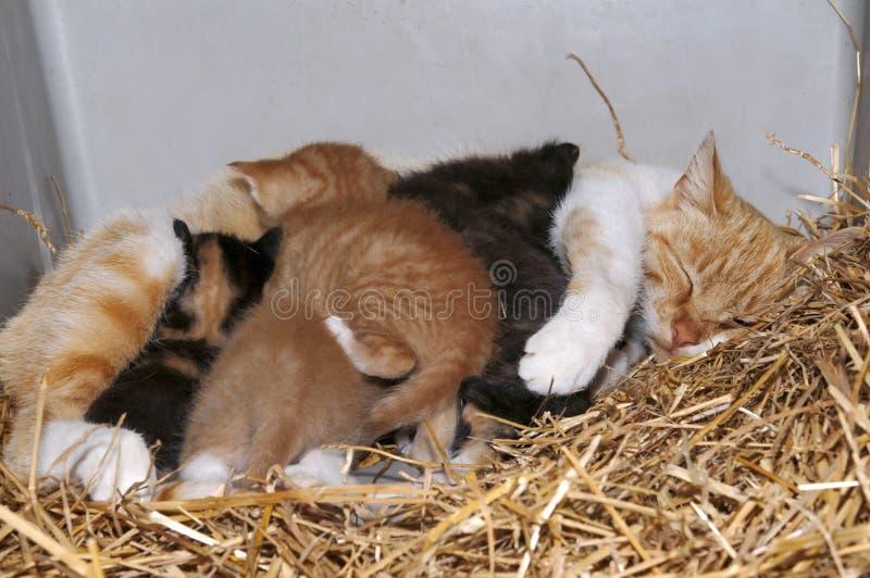 Gatto e gattini del granaio di mamma immagine stock libera da diritti