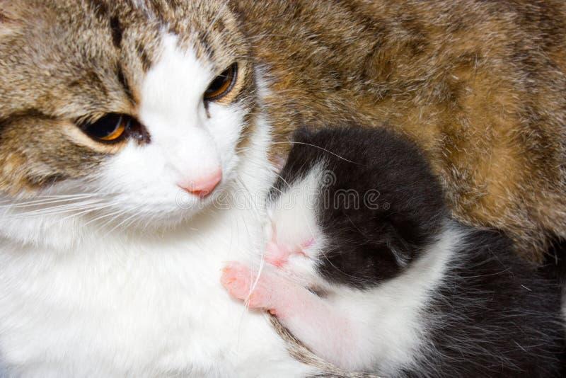 Gatto e gattino. immagini stock