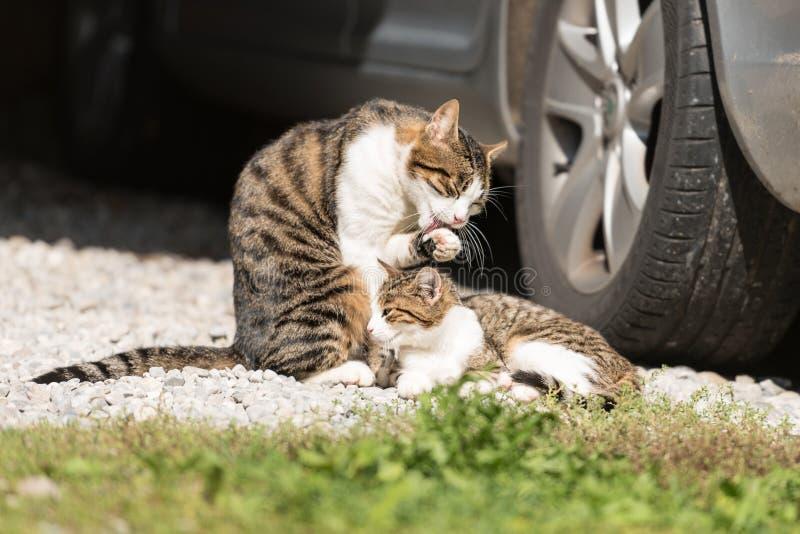 Gatto e gattino sotto l'automobile fotografie stock