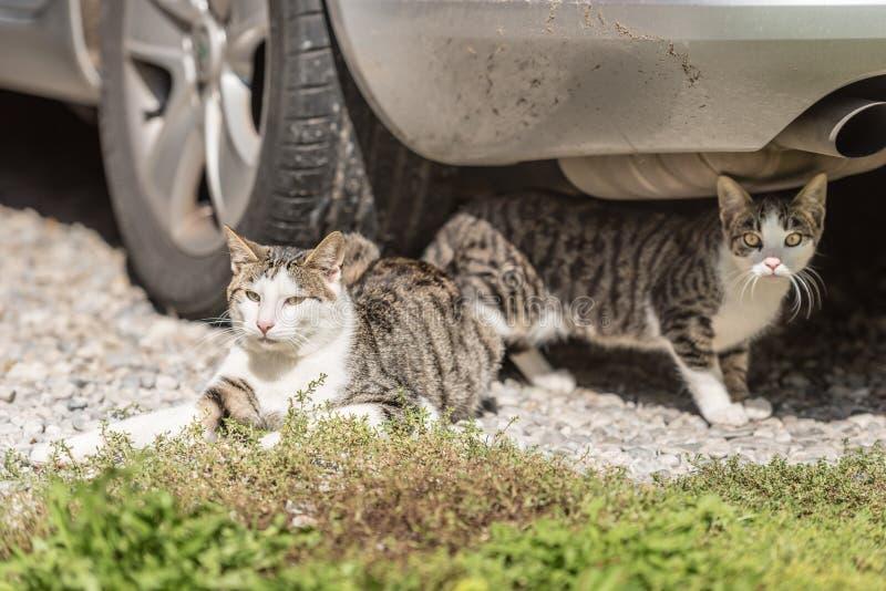 Gatto e gattino sotto l'automobile fotografia stock libera da diritti