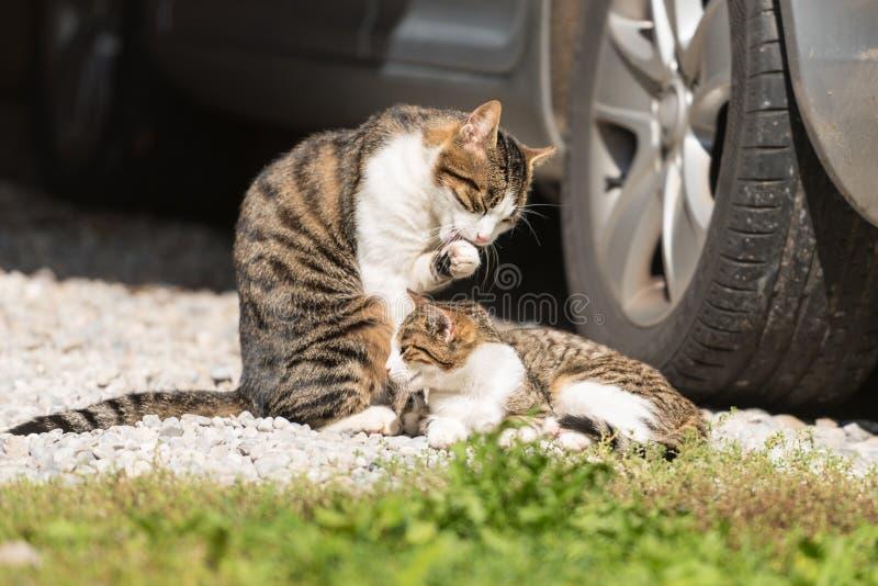 Gatto e gattino sotto l'automobile fotografia stock