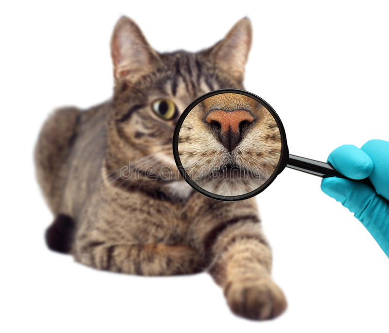 Gatto e lente d'ingrandimento Medico veterinario che fa controllo generale di un gatto immagini stock libere da diritti