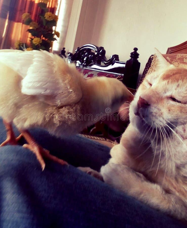 Gatto e pollo, amico adorabile fotografia stock libera da diritti
