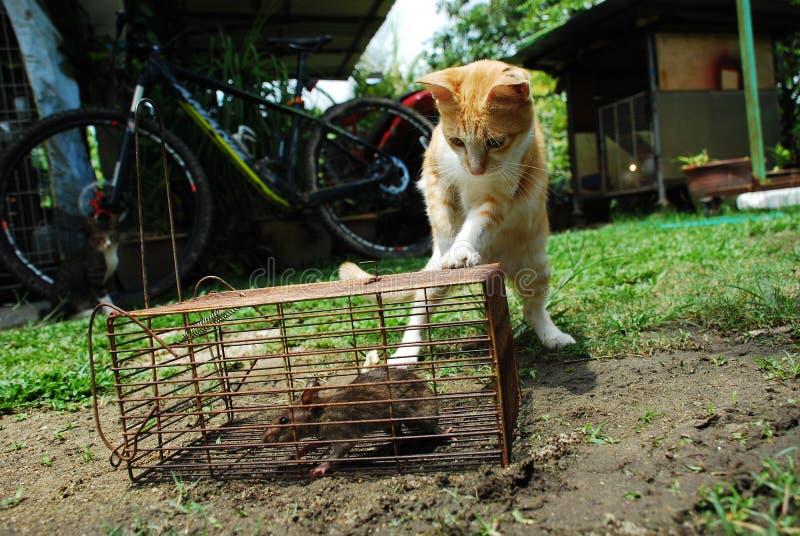 Gatto e ratto immagine stock