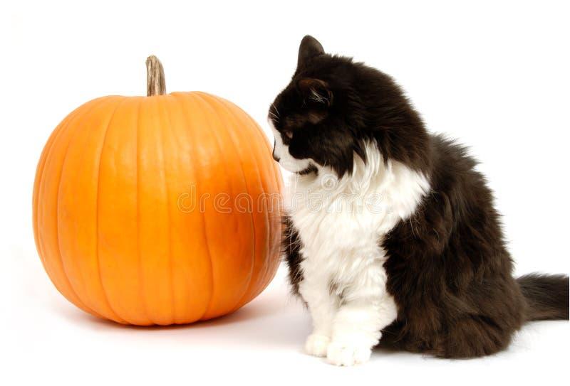 Gatto e zucca immagine stock libera da diritti