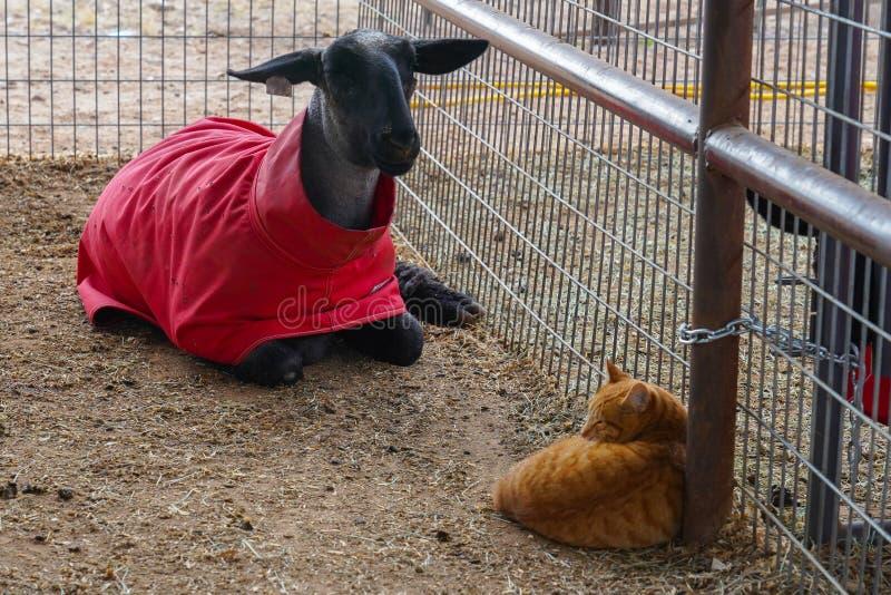 Gatto ed agnello che si siedono insieme nella penna fotografia stock