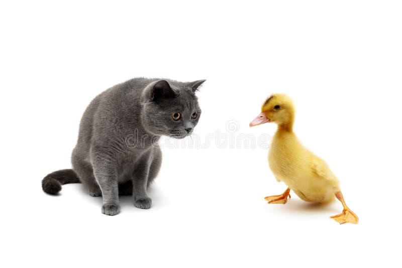Gatto ed anatroccolo isolati su fondo bianco immagini stock