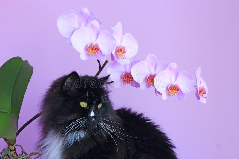 Gatto ed orchidee rosa su fondo Interno vivo fotografia stock