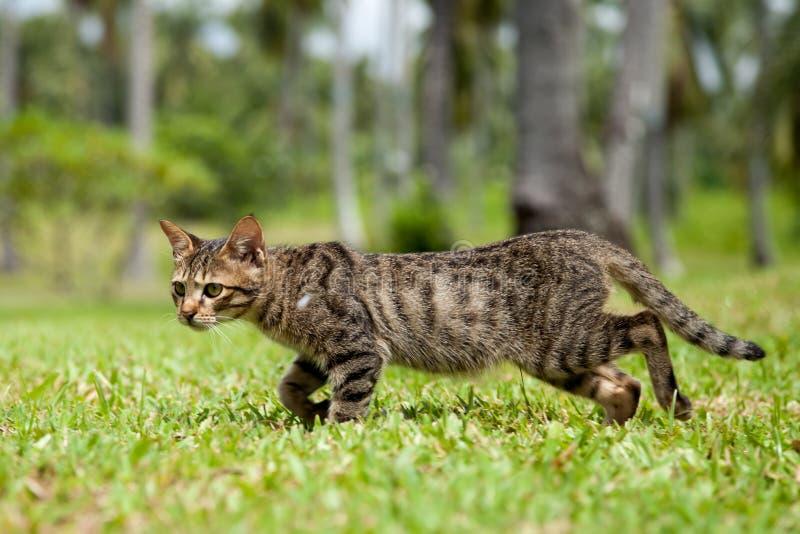Gatto esterno che cammina nell'erba lunga fotografia stock