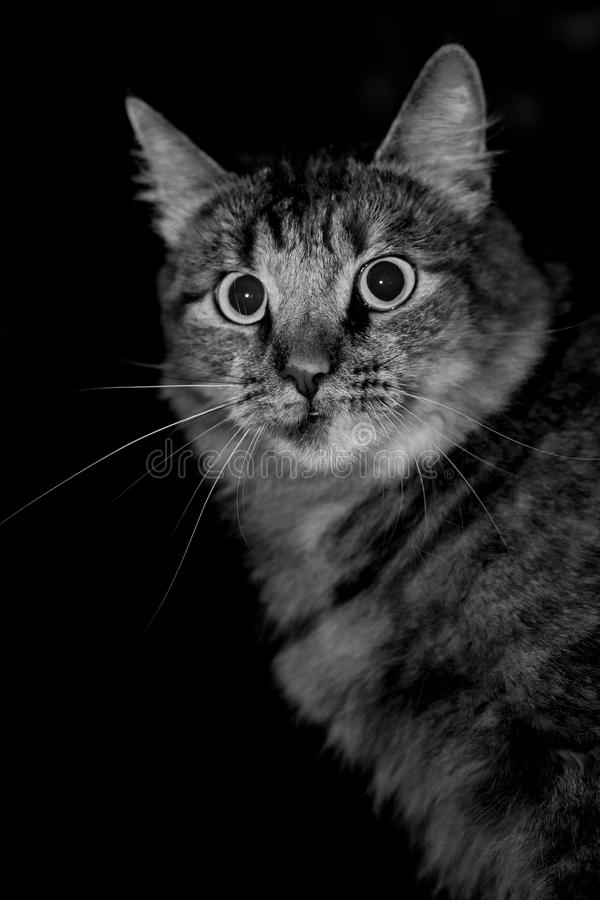 Gatto fatto sussultare fotografia stock