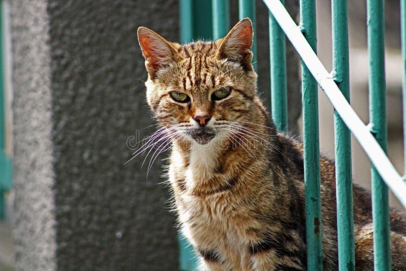 Gatto, fauna, Dragon Li, basette immagine stock