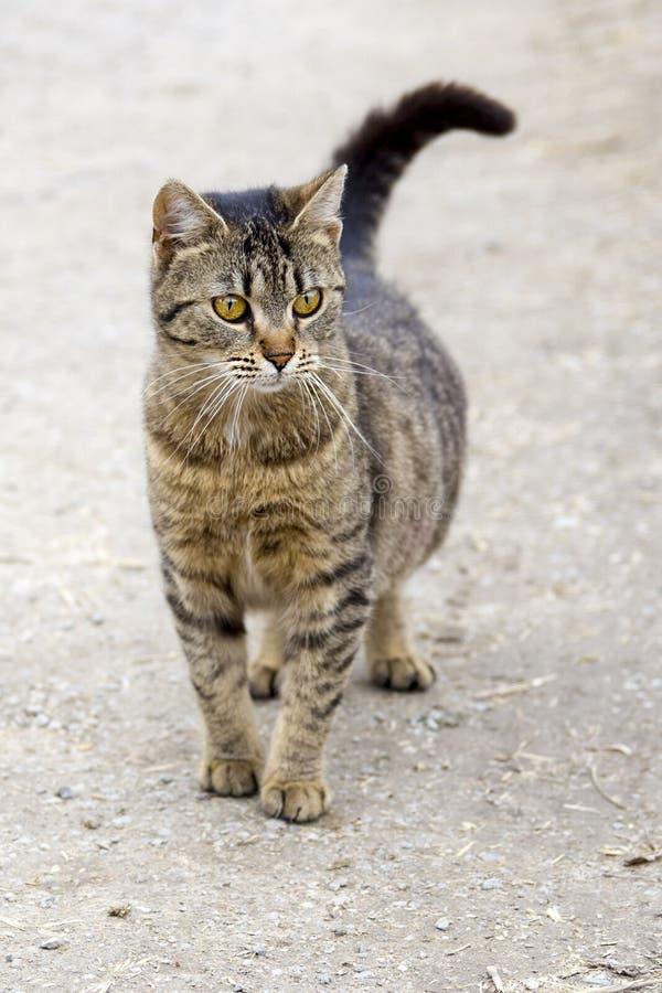 Gatto, fauna, mammifero, Dragon Li fotografie stock libere da diritti