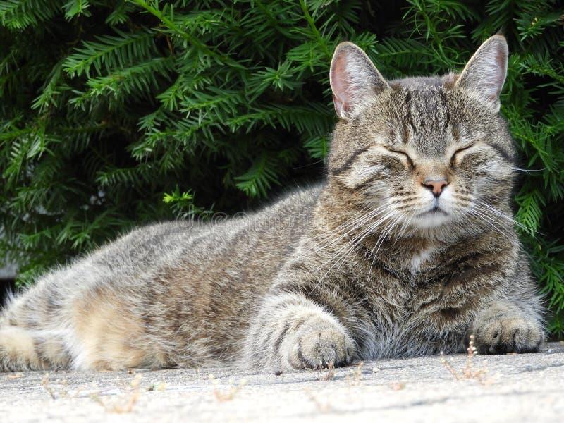 Gatto, fauna, mammifero, Dragon Li fotografia stock
