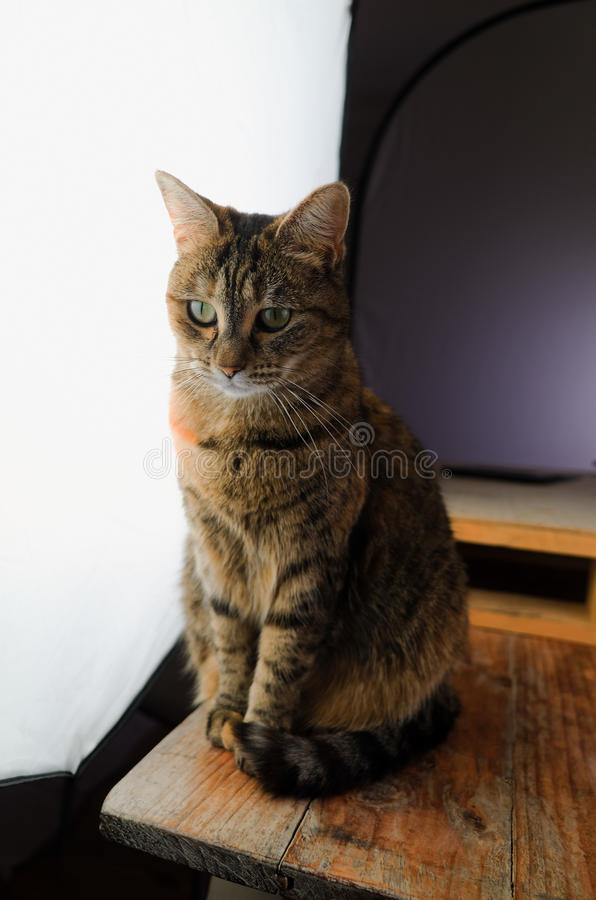 Gatto femminile che si siede su una tavola di legno rustica davanti ad una grande luce dello studio di fotografia immagini stock libere da diritti