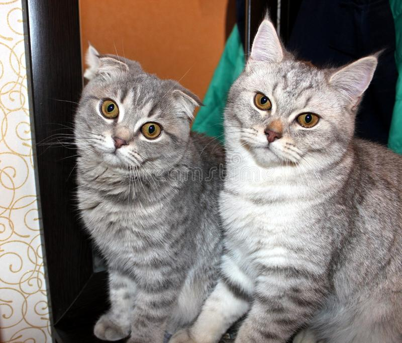 gatto, gatti, animali domestici, popolare scozzese, diritto scozzese immagine stock libera da diritti