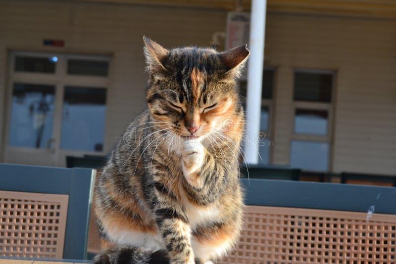 Gatto, gatti piccoli e medi, fauna, Dragon Li fotografia stock