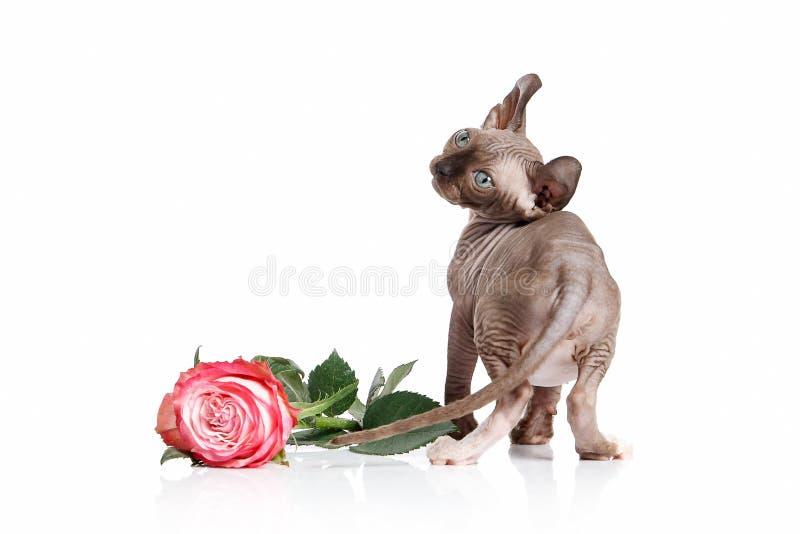 Gatto Gattino del gatto di Elf su fondo bianco fotografie stock libere da diritti