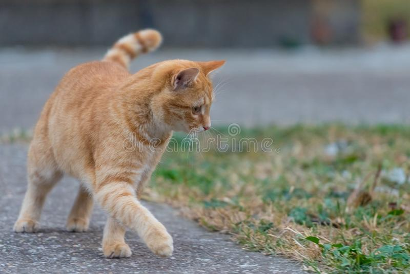 Gatto giallo che cammina per gettare l'iarda accanto ad erba fotografia stock