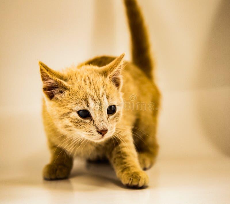 Gatto giallo posseduto fotografia stock