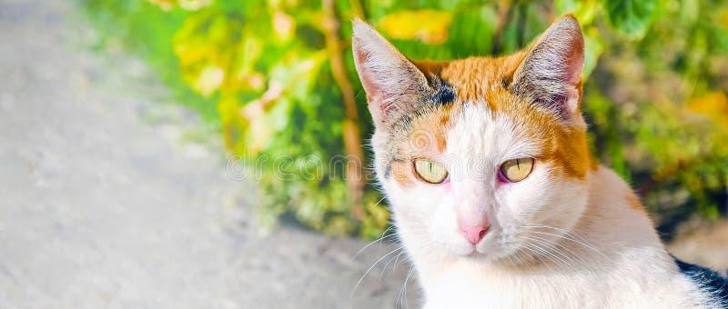 Gatto grande osservato incantante che gode del sole Ritratto di un gatto che guarda diritto nella macchina fotografica immagine stock libera da diritti