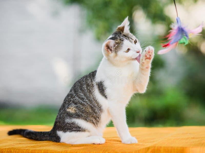 Gatto grazioso che lava su, pulendo la sua zampa con la lingua fotografia stock libera da diritti