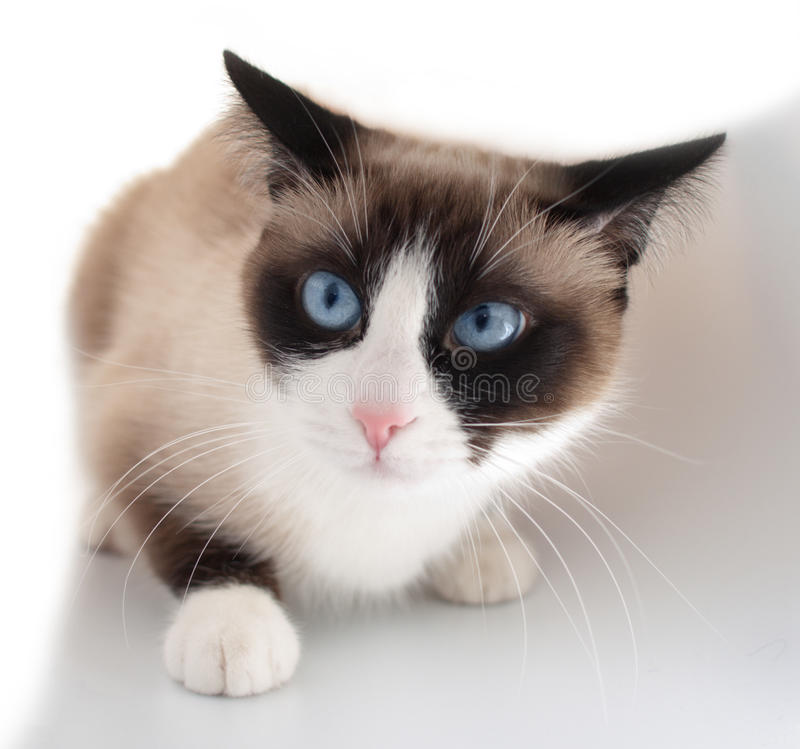 Gatto grazioso con la racchetta da neve della razza degli occhi azzurri fotografia stock