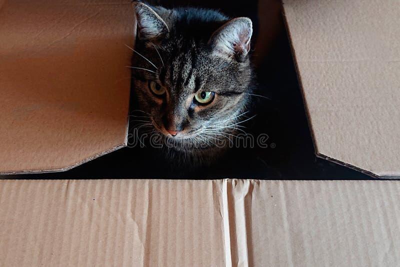 Gatto grazioso in scatola di cartone immagine stock libera da diritti
