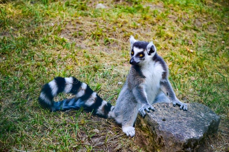 Gatto grigio al Madagascar lemur immagine stock libera da diritti