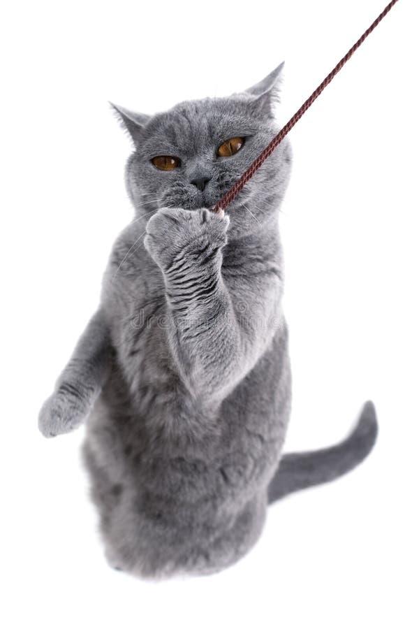 Gatto grigio britannico che gioca con un filo fotografia stock libera da diritti