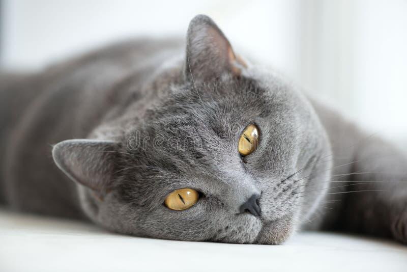 Gatto grigio britannico che si trova sulla finestra, primo piano fotografia stock